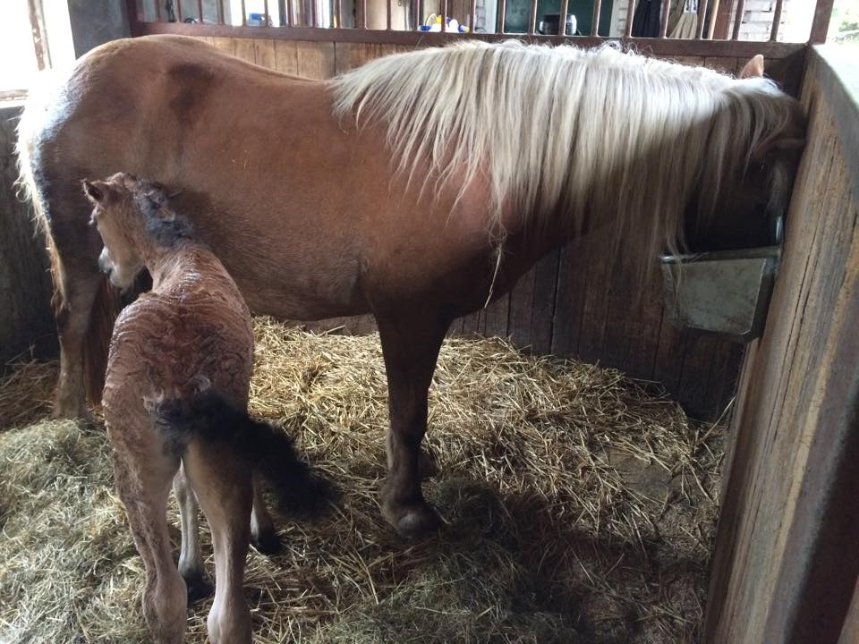 geboorte veulen paard